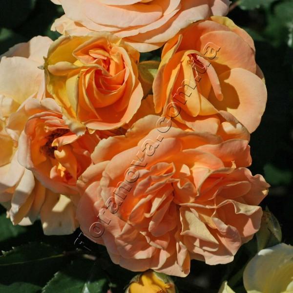фото розы сорта Timeless. Таймлесс