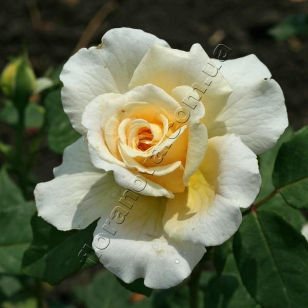 фото розы Miss Fine. Mисс Фаин