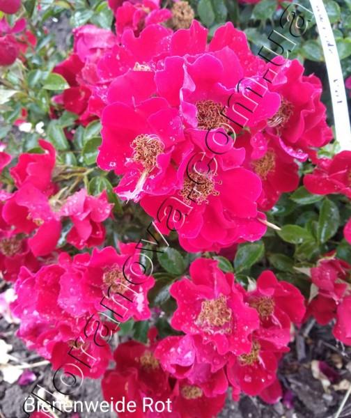 фото розы Bienenweide Rot.Биненвайде Рот.