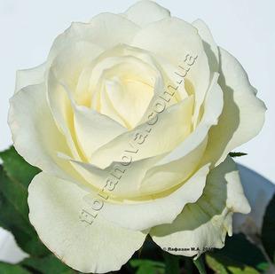 чайно-гибридная роза сорта АВАЛАНШ Avalanche