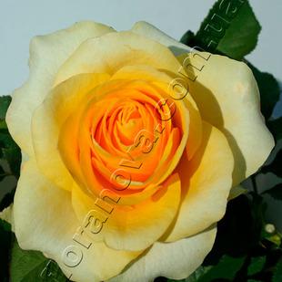 фото чайногибридной розы сорта Кронос  Kronos
