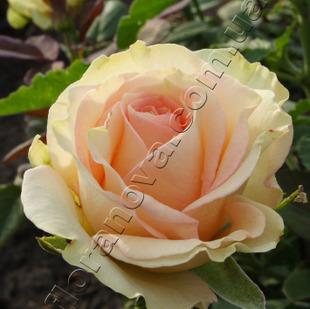 фото чайно-гибридной розы сорта Esperance