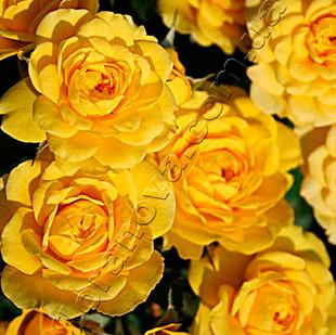 фото миниатюрной розы сорта Аполло Apollo