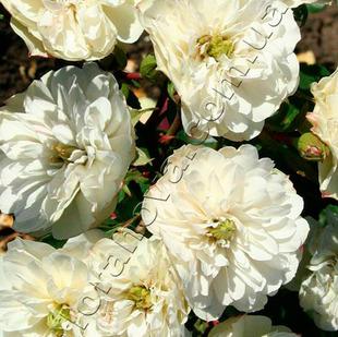 Фото розы сорта Зеленый лед. Green Ice