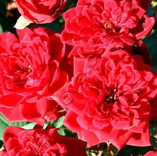 фото миниатюрной розы сорта Карина Karina