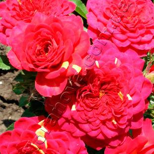 фото миниатюрной розы сорта Sirena. Сирена