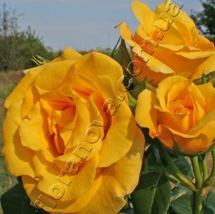Фото розы сорта Goldstern.