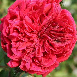фото английской розы сорта Вильям Шекспир 2000 William Shakespeare 2000