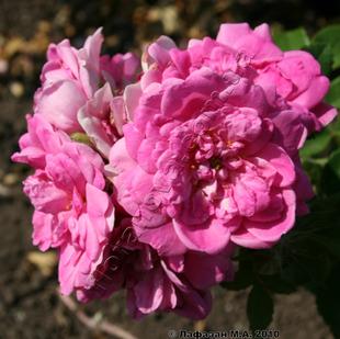 фото канадской розы сорта  Louis Jolliet Луис Джолиет