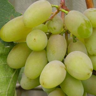 Виноград Белый КоКл