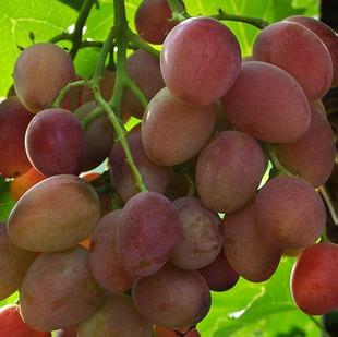 Виноград Восторг красный