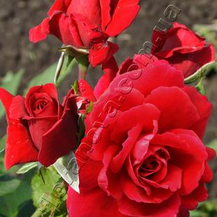 Фото розы сорта Sympathie. Симпати