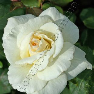 Фото розы сорта Schneewalzer. Шнеевальцер