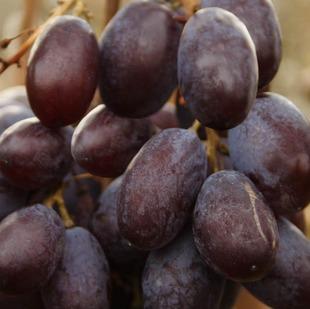 Фото винограда сорта Шоколадный