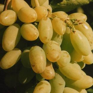 Фото винограда сорта Тимур