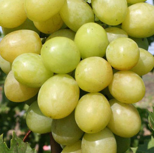 Фото винограда сорта Благовест