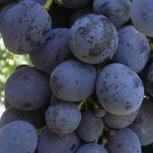 фото столового винограда сорта Сфинкс