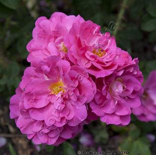 Фото розы сорта John Cabot, Джон Кабот