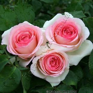 Саженцы роз сорта Pierre de Ronsard. Пьер де Ронсар