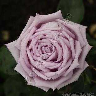 Фото розы Indigoletta. Индиголетта