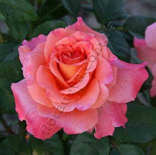 Фото розы Augusta Luise. Августа Луиза