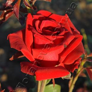 Фото розы сорта Sommerduft. Зоммердуфт