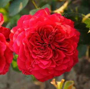 Фото розы Red Leonardo Da Vinci. Ред Леонардо Да Винчи