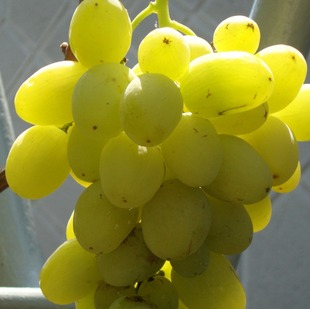 фото столового сорта винограда Ермак