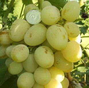 фото столового сорта винограда Богатяновский