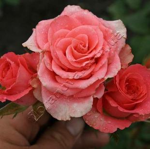 Фото розы Amsterdam. Амстердам