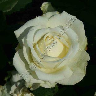 фото розы сорта Maroussia. Маруся