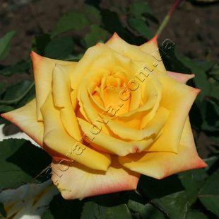 фото розы Mohana. Мохана
