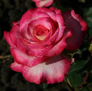 Фото розы сорта Attracta. Аттракта