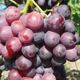 фото винограда Кардинал устойчивый, К 81.