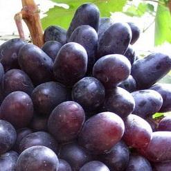 сорт винограда Хаджи Мурат.