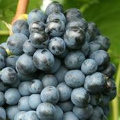 Фото сорта винограда Эстер, R 65.