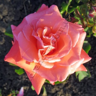 фото сорт розы Prima Ballerina, Прима Балерина