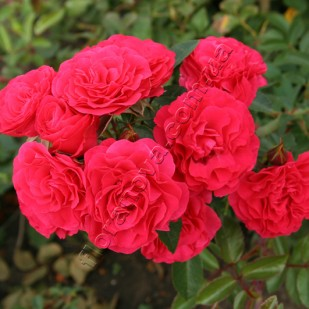 фото розы Morden Cardinette. Морден Кардинет