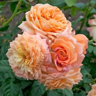 Фото розы Barock. Барок