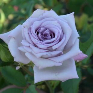 фото сорт розы Boyfriend