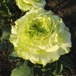 фото саженцы роз Latin Green. Латин Грин