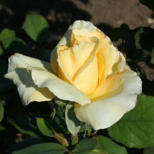фото роза White Christmas. Вайт Кристмас