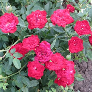фото сорт розы Red Cascade. Ред Каскад