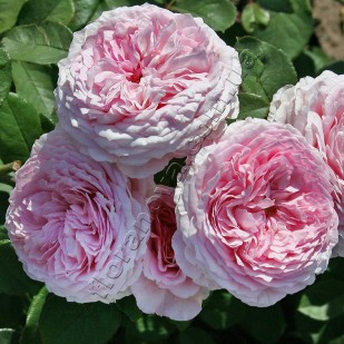 фото английской розы  Джеймс Голуэй James Galway