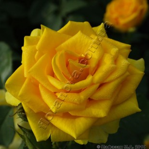 фото чайногибридной розы сорта Илиос. Ilios
