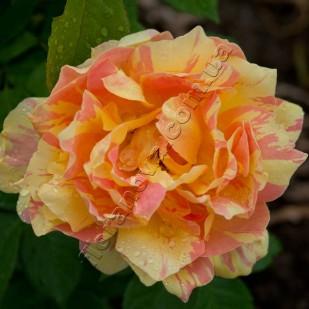 Саженцы роз Paul Cezanne Поль Сезан