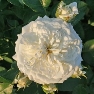 фото розы Alabaster.Алабастер