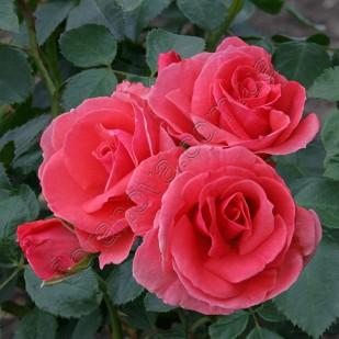 Фото розы Lawinia. Lavinia. Лавиния