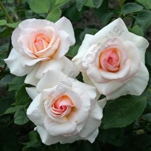 Фото розы Schwanensee. Шванензее