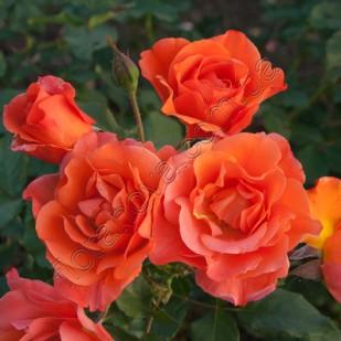 Роза Westerland Вестерлэнд